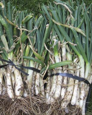 El calçot és una varietat de ceba tendra (Allium cepa). Són cebes poc bulboses i més suaus, blanques i dolces. Per cultivar-los, es parteix del bulb arrencat de la ceba al final d'estiu, el qual es planta tallant-li prèviament la part superior. A mesura que els brots de la ceba van sortint s'han de colgar (o calçar) amb el mateix substrat per tal que quedi més blanquejat.
