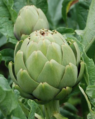 La carxofa (o escarxofa, com tradicionalment se l'anomena al Baix Llobregat) és la verdura més emblemàtica del Prat i de la comarca. Té més de cent anys d'història i és la reina dels cultius del Delta, amb més de 500 ha. conreades al Baix Llobregat i amb una elevada qualitat.